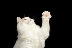Close-up Speelse Schotse Rechte Cat Raising op Paw Isolated Black stock fotografie