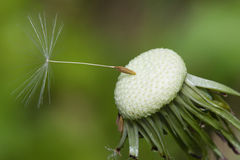 Close up of a spent Dandelion Stock Photography