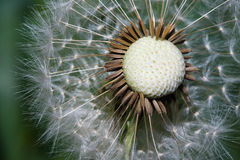 Close up of a spent Dandelion Royalty Free Stock Photo