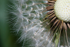 Close up of a spent Dandelion Royalty Free Stock Photography