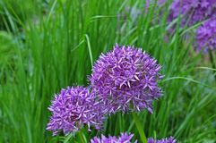 Lilac flowers of a persian onion royalty free stock photo
