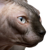 Close-up of Sphynx cat, 1 year old Royalty Free Stock Photography