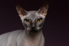 Close-up Sphynx Cat Looking in camera op purple stock foto