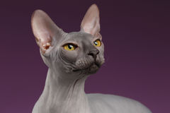 Close-up Sphynx Cat Looking omhoog op purple royalty-vrije stock afbeelding