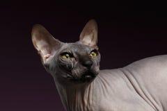 Close-up Sphynx Cat Looking terug op purple stock foto