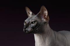 Close-up Sphynx Cat Looking vooruit op purple stock foto's