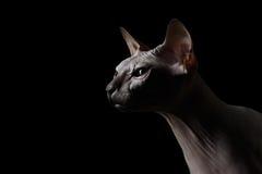Close-up Sphynx Cat Looking vooruit op zwarte royalty-vrije stock foto