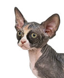 Close up of a Sphynx kitten Royalty Free Stock Images
