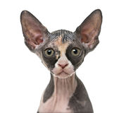 Close up of a Sphynx kitten isolated on white Stock Images
