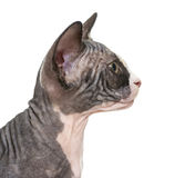 Close up of a Sphynx kitten profile Stock Photos