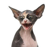 Close up of a Sphynx kitten threatening Royalty Free Stock Photo