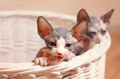 Close up Sphynx Kittens Inside a Wooden Basket. Close up Very Young Sphynx Kittens Inside a Wooden Basket on a Brown Wall Background Royalty Free Stock Photo