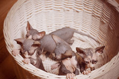Close up Sphynx Kittens Inside a Wooden Basket Royalty Free Stock Photos