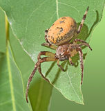 Close up of spider Royalty Free Stock Images