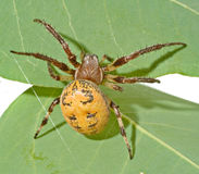 Close up of spider Royalty Free Stock Photography