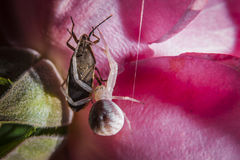 Close up of spider feasting on a bug Royalty Free Stock Photography