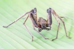 Close up spider , Heteropoda venatoria Royalty Free Stock Photography