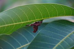 Close up of spider moth on mango tree leaf royalty free stock photo
