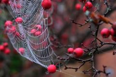 Close up of spider`s web hanging from red crab apple tree in autumn. Close up of spider`s web with dew drops hanging from red crab apple tree in autumn stock photo