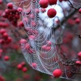 Close up of spider`s web hanging from red crab apple tree in autumn. Close up of spider`s web with dew drops hanging from red crab apple tree in autumn stock images