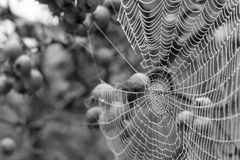 Monochrome close up of spider`s web hanging from red crab apple tree in autumn. Close up of spider`s web with dew drops hanging from red crab apple tree in stock photos