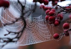 Close up of spider`s web hanging from red crab apple tree in autumn. Close up of spider`s web with dew drops hanging from red crab apple tree in autumn royalty free stock image