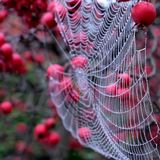 Close up of spider`s web hanging from red crab apple tree in autumn. Close up of spider`s web with dew drops hanging from red crab apple tree in autumn royalty free stock images
