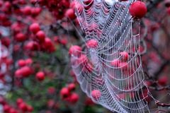 Close up of spider`s web hanging from red crab apple tree in autumn. Close up of spider`s web with dew drops hanging from red crab apple tree in autumn stock photography