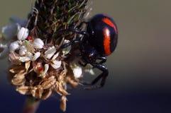 Close up with spider - Synema globosum, family Thomisidae Stock Image