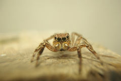 Close up spider Royalty Free Stock Photos