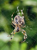 A close-up of a spider weaving its web. A vertical close-up view of a spider weaving its web, with green background. Biological order: Araneae Royalty Free Stock Photography