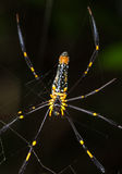 Close up Spider on the web (Nephila maculata) Stock Photos