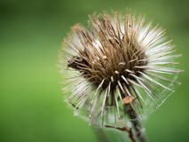Close up of a spiked seed pod. Macro shot of a spiked seed pod with a deep green backdrop Royalty Free Stock Images
