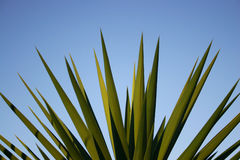 Close up spiky yucca leaves Stock Photography