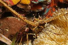 Close up of a spiny lobster underwater Stock Images