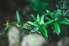 Close-up of spiny thick green leaves with small berries on the branches royalty free stock images
