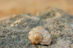 Close-up of spiral sea shell on the coast rock Stock Image