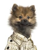 Close-up of a Spitz puppy wearing a checked shirt, 4 months old. Isolated on white stock image