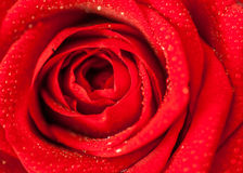 Close up splashed beautiful red rose Stock Photos