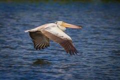 Close up of Spot-billed pelican(Pelecanus philippensis) Royalty Free Stock Photos