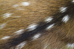 Close-up on spotted deer fur in Bardia, Nepal royalty free stock image
