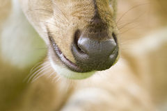 Close-up on a spotted deer snout, in Bardia, Nepal Stock Photography