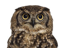 Close-up of a Spotted eagle-owl - Bubo africanus Stock Image