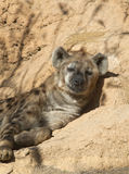 Close up of a Spotted Hyena Royalty Free Stock Image