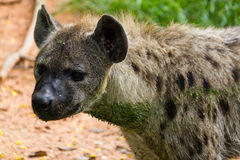 Close up of a spotted hyena Stock Images