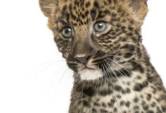 Close-up of a Spotted Leopard cub - Panthera pardus, 7 weeks old Royalty Free Stock Photo