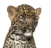 Close-up of a Spotted Leopard cub - Panthera pardu. S, 7 weeks old, isolated on white Stock Photos