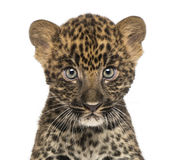 Close-up of a Spotted Leopard cub starring at the camera. Panthera pardus, 7 weeks old, isolated on white Royalty Free Stock Photography