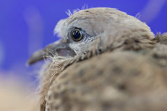 Close up of Spotted Necked Dove. Stock Photo