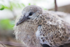 Close up of Spotted Necked Dove. Royalty Free Stock Photography